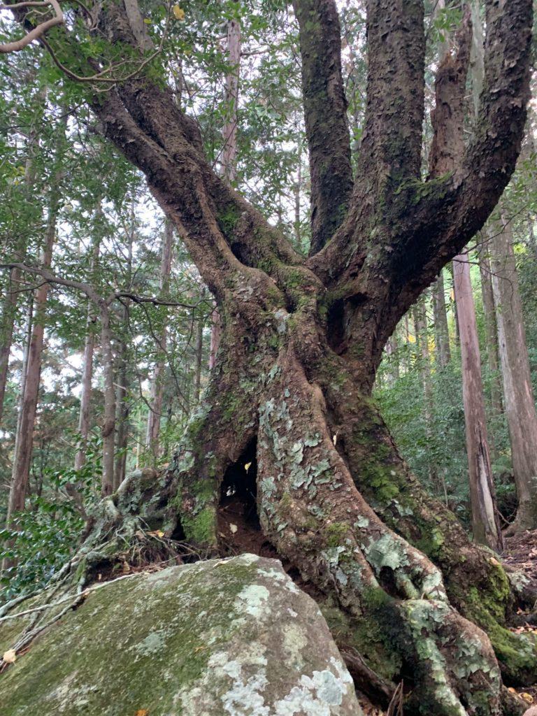便石山の特殊な木