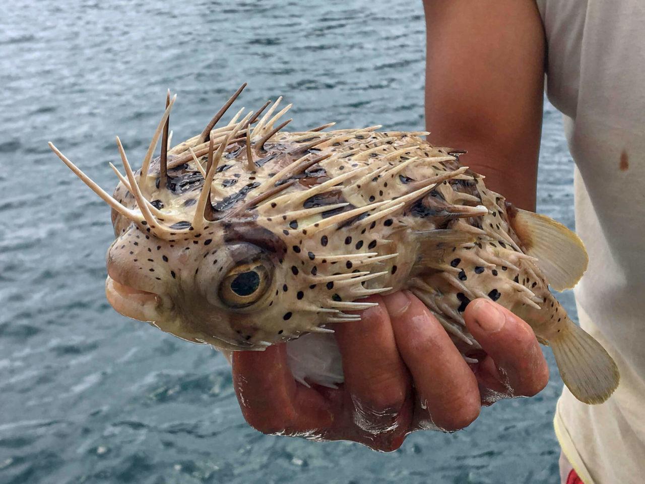 漁師体験ハリセンボン
