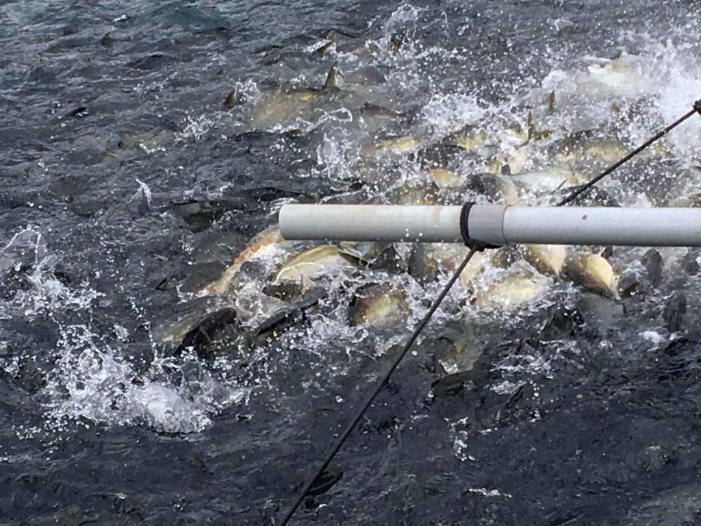 漁師体験 シマアジの餌やり