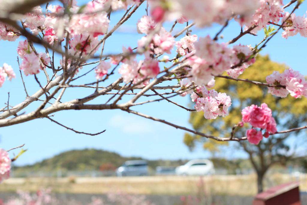 サンアリーナ花の広場 花桃