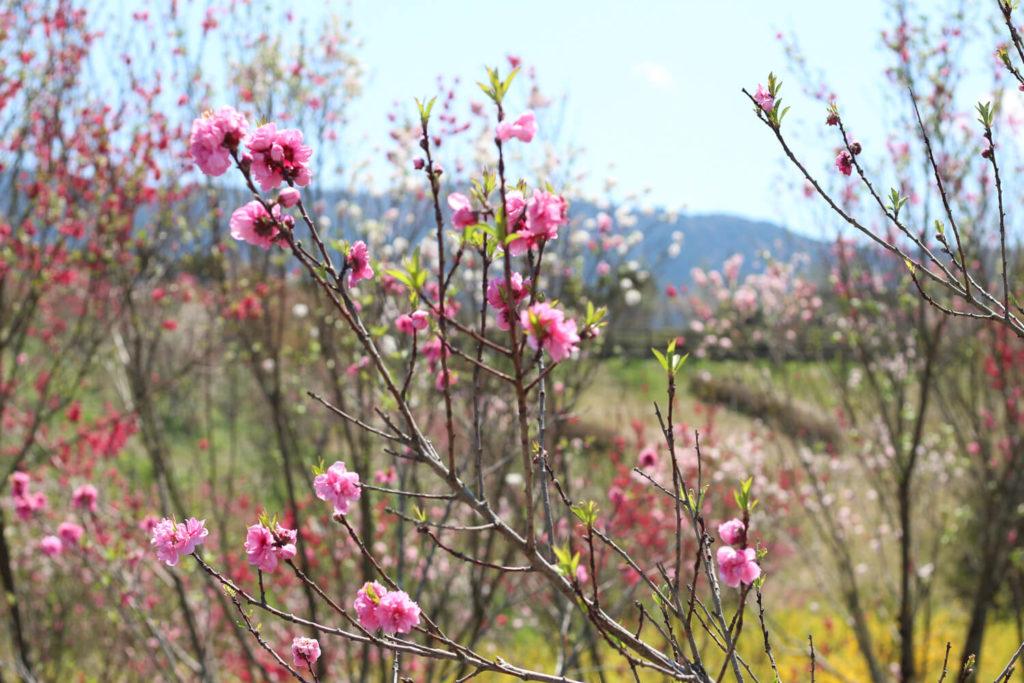 サンアリーナ花の広場 花桃3
