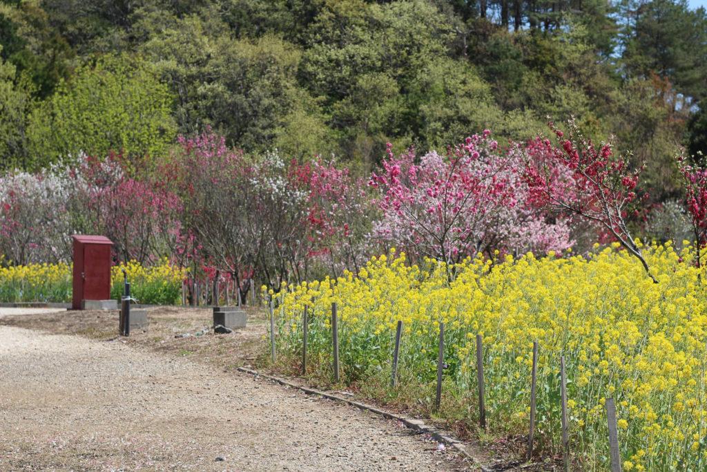 サンアリーナ花の広場 花桃4