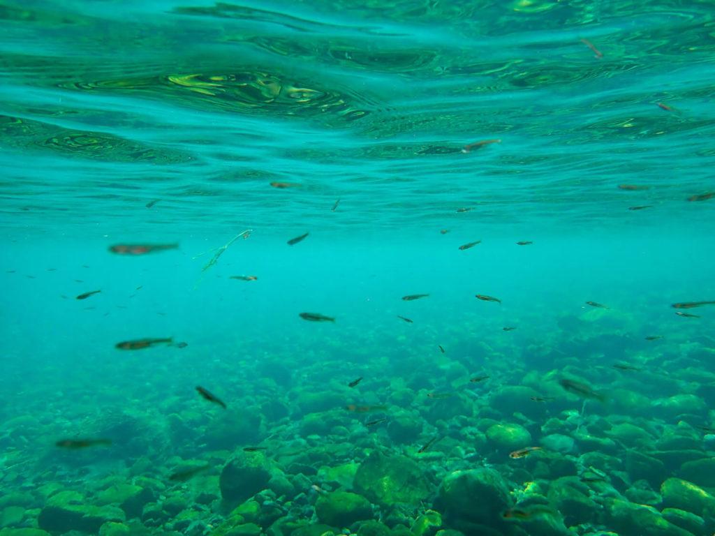 銚子川の生き物 カワムツの群れ3