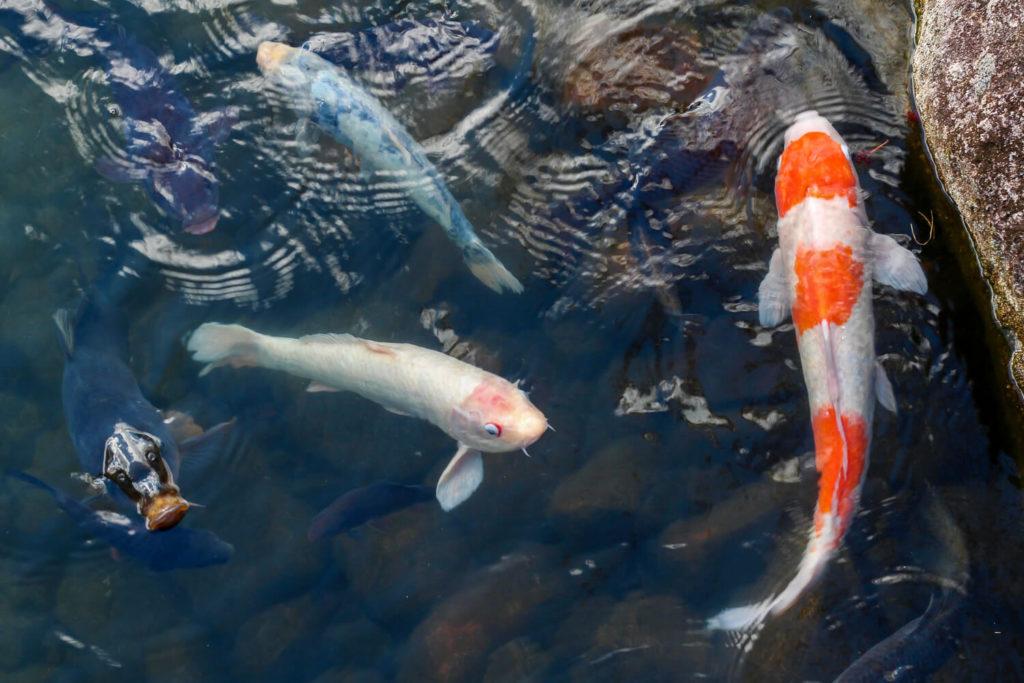 銚子川付近 観光スポット 種まき権兵衛の里 池の鯉1