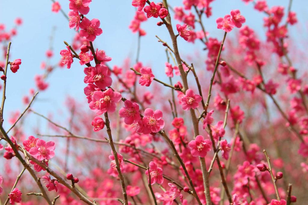 銚子川付近 観光スポット 種まき権兵衛の里 河津桜