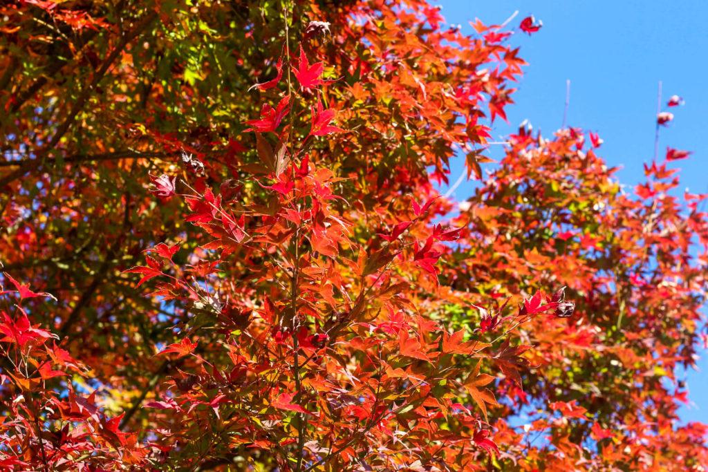 銚子川付近 観光スポット 種まき権兵衛の里 紅葉の様子