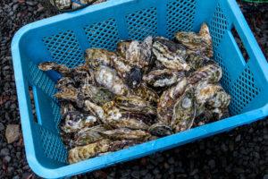 カゴに入った浦村牡蠣