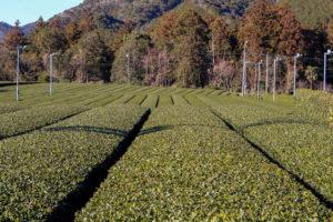 伊勢茶を飲もう 度会の茶畑