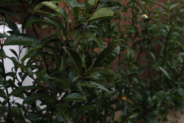関見世吉右衛門 伊勢茶の木