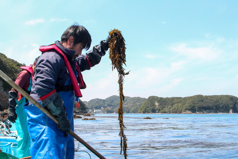 鳥羽浦村 アカモク収穫5